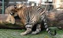 Превью - Королевство Тигров